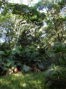 Cabbage-Tree Palm (Livistonia australis) endemic to semi-tropical rainforest, Jervis Bay. Photograph by Ian Hoskins 2016
